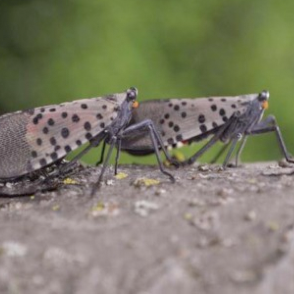 Spotted Lanternfly Permit Requirements and Guidance